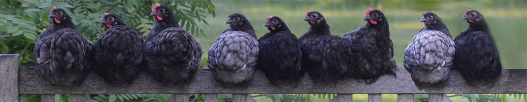 chickens perched on a fence