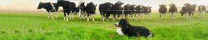Dogs and cattle